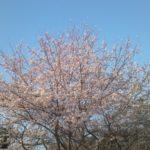 どうみても桜